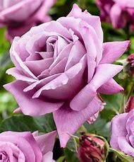 Lavender Purple Rose Flowers