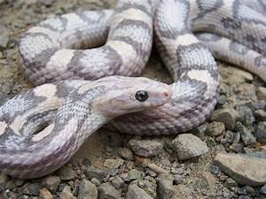 Corn Snake- Lavender (NICE Looker) - a photo on Flickriver