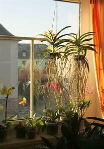 Orchidee Vanda Pflege : vanda orchideen so pflege ich sie majas pflanzenblog ~ Lizthompson.info Haus und Dekorationen