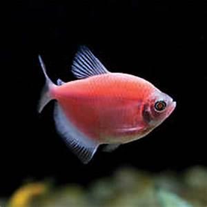 GloFish Moonrise Tetra