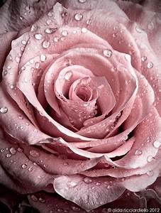 Couleur Complémentaire Du Rose : les 25 meilleures id es concernant roses sur pinterest ~ Zukunftsfamilie.com Idées de Décoration