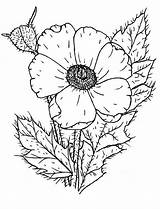 Coloring Poppy Wildflower Pages Poppies Drawing Remembrance Colouring Template Printable Colorluna Sketch Sheets Getdrawings Comments sketch template