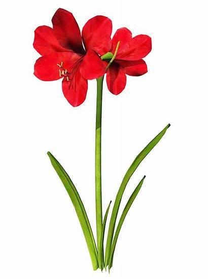 Amaryllis Clipart Flower Clip Cliparts Flowers Palm