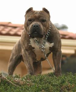 american pitbull terrier - Google Search | bull breeds ...