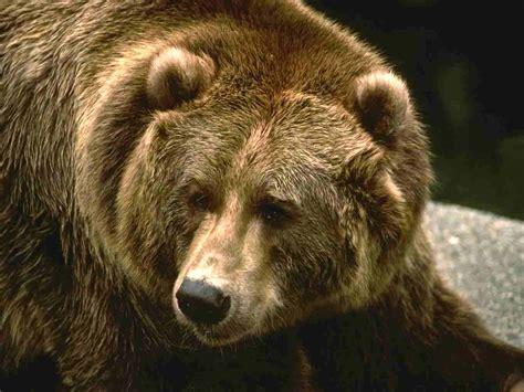 Медведи . Bears . ВКонтакте