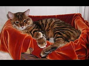 Toyger - Information, Health, Pictures & Training Pet Paw
