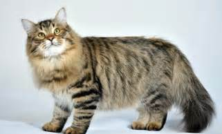 domestic cat breeds 5 largest domestic cat breeds in world