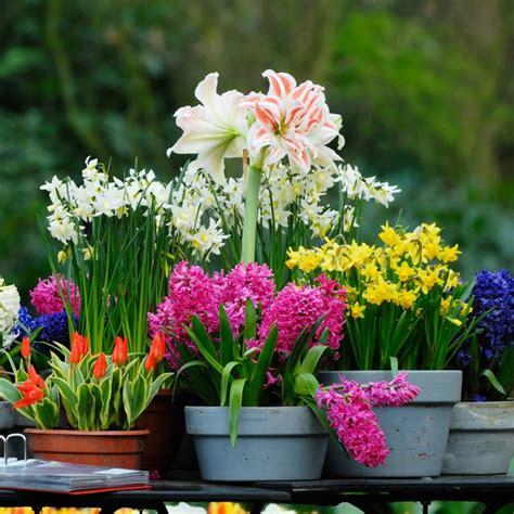 daffodil bulbs for sale buy daffodil bulbs in bulk