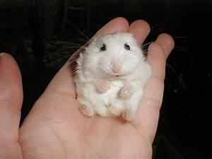Photo De Mini  Rongeur Hamster - 124956