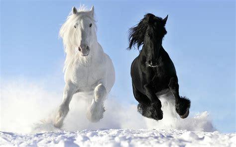 snow horses horse running through clydesdale wild dark