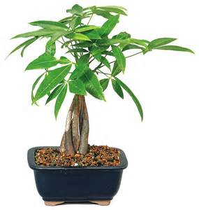 75 Off Artificial Christmas Trees by Bonsai Money Tree Asian Plants By Brussel S Bonsai