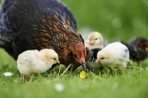 Hühner Im Garten : neuer untermieter h hner im eigenen garten halten kolumne fauma flora ~ Markanthonyermac.com Haus und Dekorationen