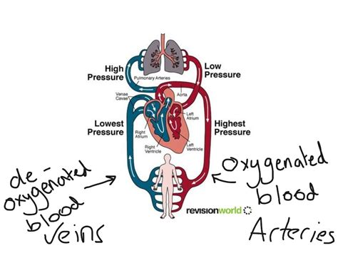 double circulatory system diagram science biology