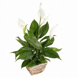 Peace Lily Care Guide | Pollen Nation