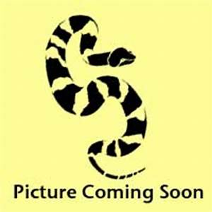 Amber motley corn snakes -Adult Males- $129.99
