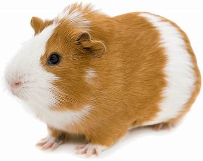 Pig Guinea Transparent Hamster Clipart Background Brown