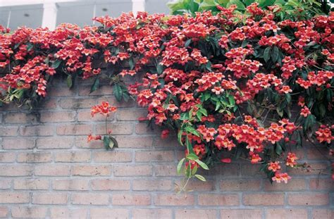 Top 10 Best Climbing Plants