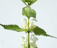 taubnessel heilpflanzenlexikon gesundcoat