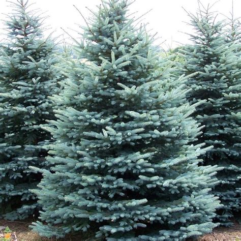 blue spruce colorado blue spruce for sale the planting tree