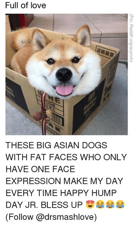 Asian Dog Meme - pic reddit ugracynvh these big asian dogs with fat faces who only have one face expression make
