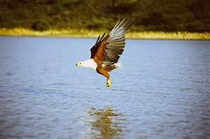 Fichier African Fish Eagle Above Water Jpg  U2014 Wikip U00e9dia