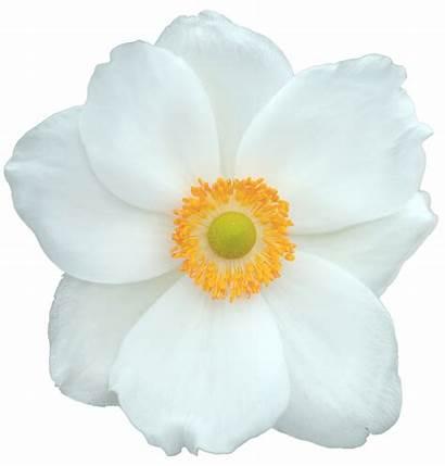 Flower Transparent Fleur Domain Blanche Yellow