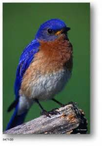 Bluebirds Bird