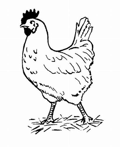 Coloring Chickens Pages Hens Animals Chicken Hen