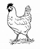 Chicken Fun Coloring Pages sketch template