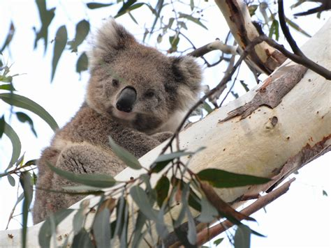 Have You Ever Looked Up A Koala's Nose? Well, Maybe You