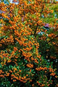 Kirschlorbeer Ungiftige Sorte : feuerdorn orange glow pyracantha orange glow g nstig online kaufen ~ Orissabook.com Haus und Dekorationen