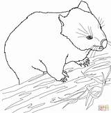 Wombat Australian Coloring Colouring Pages Printable Template Wallaby Face Supercoloring Sketch Categories sketch template