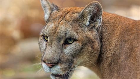 wallpaper mountain lion puma face eyes wildlife