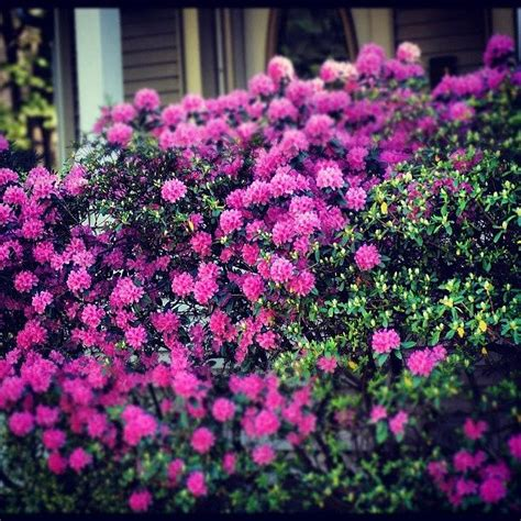large bush with pink flowers pink flowers bush garden yard photograph by brian townsend
