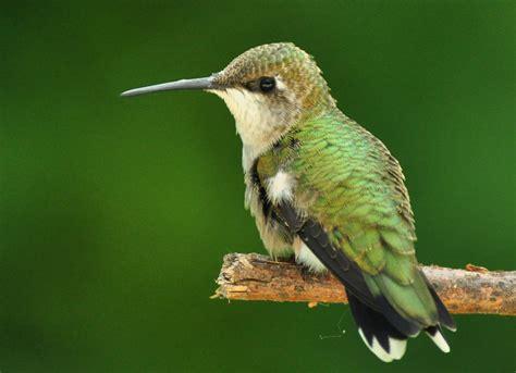 hummingbirds gone but not forgotten iowa wildlife blog