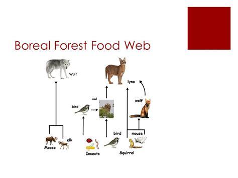 boreal cuisine coniferous forest food web ma