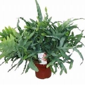 Plante Pour Appartement : phlebodium aureum phlebodium pinterest ~ Zukunftsfamilie.com Idées de Décoration