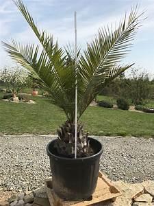 Palme Winterhart Kübel : palmen ~ Michelbontemps.com Haus und Dekorationen