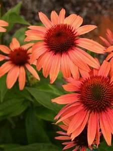 Sonnenhut Pflanze Kaufen : echinacea purpurea 39 sunset 39 garten sonnenhut g nstig kaufen ~ Buech-reservation.com Haus und Dekorationen