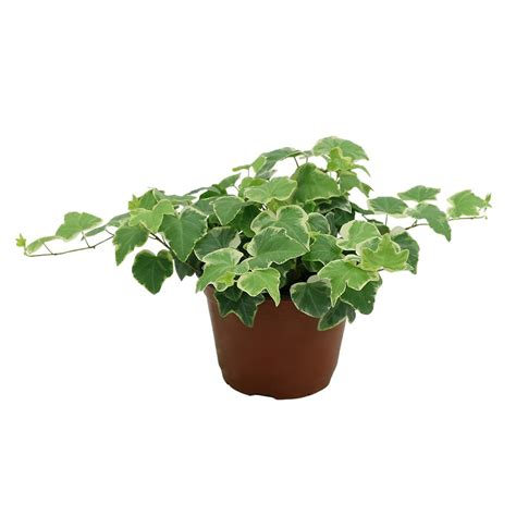 in plant delray plants ivy plant in 6 in pot 6ivy the home depot