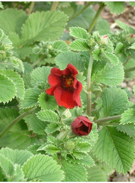 Potentilla atrosanguinea - The Beth Chatto Gardens