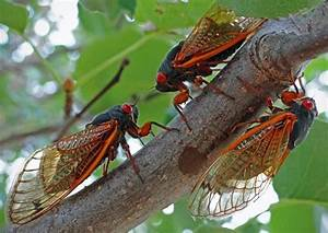 Previously Undocumented Cicada Group Emerges In Oklahoma ...
