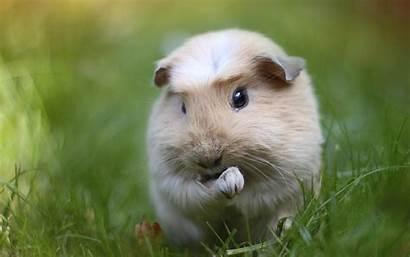 Guinea Pig Pigs Wallpapers Desktop 4k Rodent