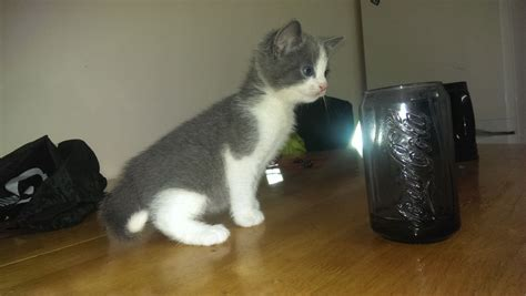 French Chartreux Mixed Breed Kittens For Sale!