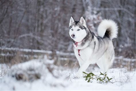 Learn About Sled Dogs