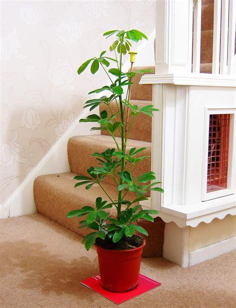 umbrella tree parasol schefflera indoor house plant