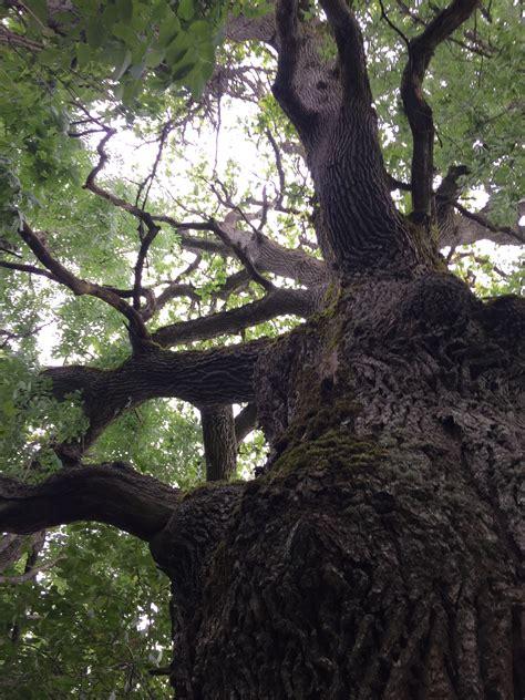 Spēkozols | Koku karalis ozols