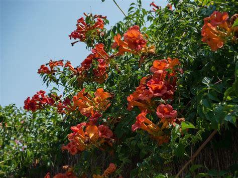 kletterpflanzen balkon winterhart wann sind mediterrane rankpflanzen winterhart arten und pflege mediterrane pflanzen