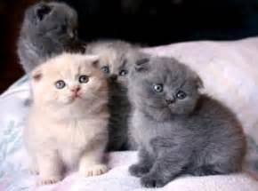 scottish fold cats standard scottish fold munchkin cats washington navy yard