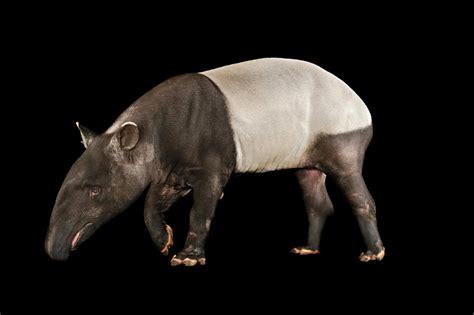 tapir tapirs magazine endowed well nationalgeographic